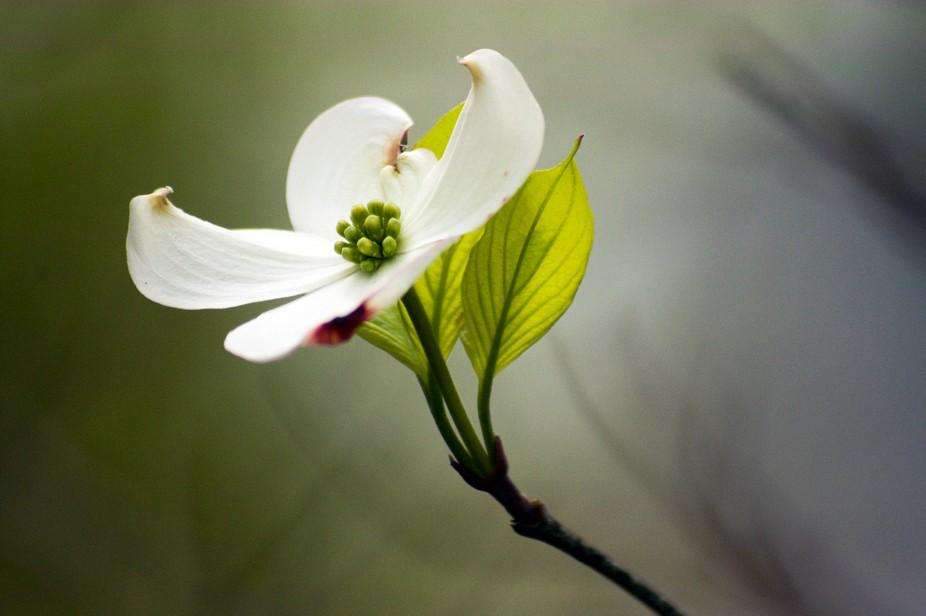 Dogwood Bloom
