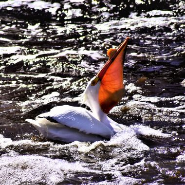 Pelican swallowing a whole fish. you can actually see the fish in it's bill.