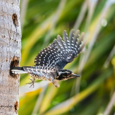 Nuttall's Woodpecker, female DSC08219