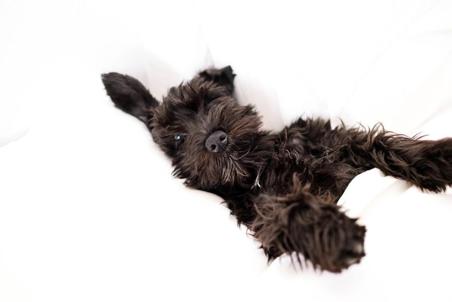 My new puppy Ruby.  A black miniature Schnauzer.