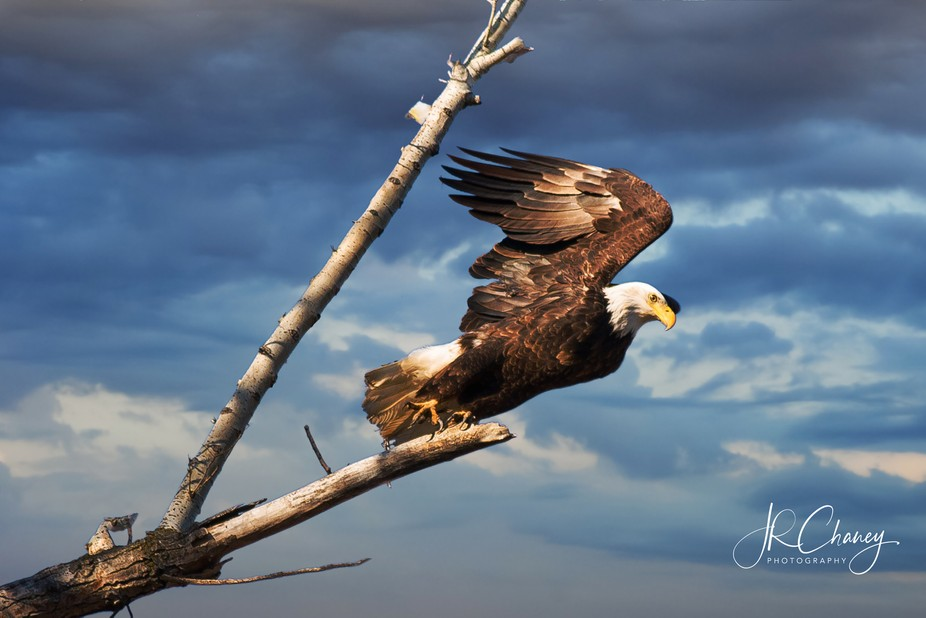 Eagle Taking off a Branch at the Brownville Bridge.