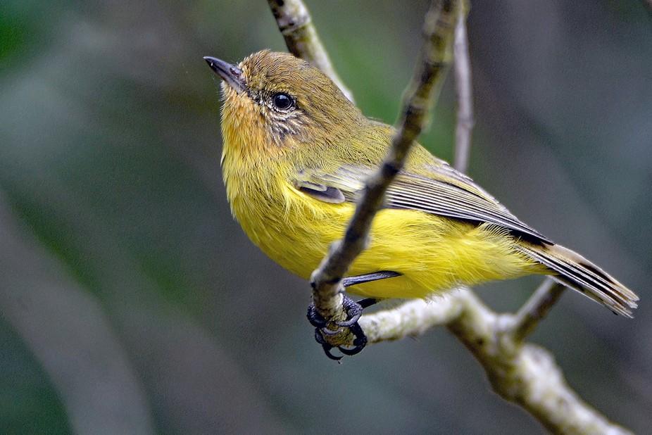 Yellow Thornbill#Scott Way#Ash Island Wetlands#Hexham#NSW#Australia.