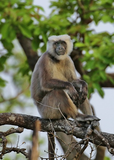 Langur Sitting High in a Jungle Tree