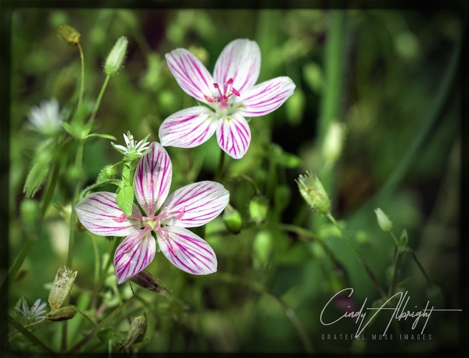 These pretty little wildflowers remind me of a candy cane.  Too pretty to eat though!