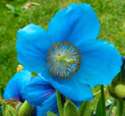 Alaskan flower
