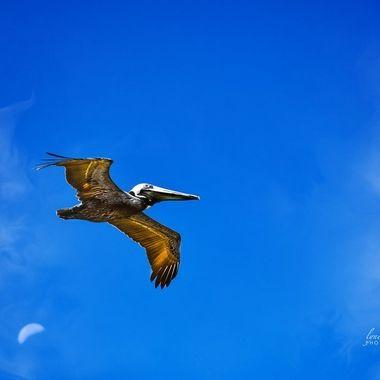 NSB Pelican in Flight with Moon