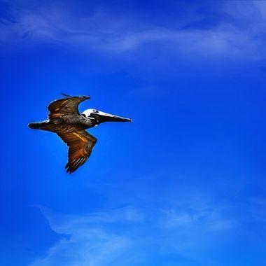 NSB Pelican Flyover