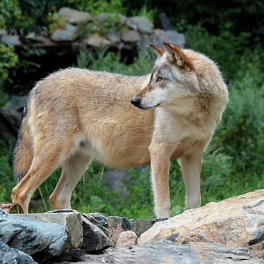Aidan is a male rocky mountain subspecies of the gray wolf and retired Ambassador wolf at the International Wolf Center in Ely, MN
