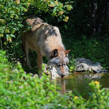 This is Aidan; a male rocky mountain subspecies of the gray wolf and retired Ambassador wolf at the International Wolf Center in Ely, MN