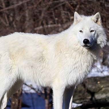 This is Axel; a male arctic subspecies of the gray wolf and member of the Ambassador Pack at the International Wolf Center in Ely, MN
