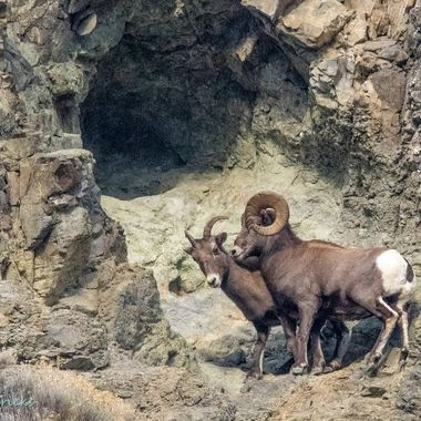 A rocky Mountain Ram chasing a ewe at Spences Bridge B C