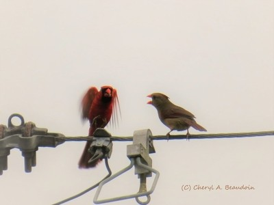 Loving Cardinal Couple     IMG_4712
