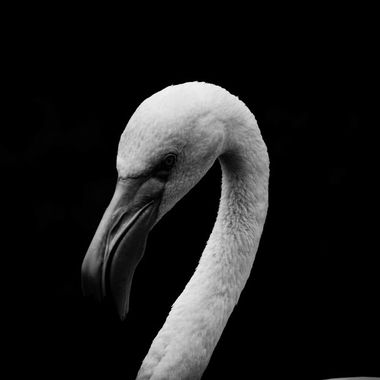 A flamingo I shot at the zoo and decided I like it better in black and white.