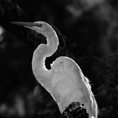 A Great Egret in Arizona