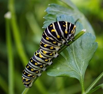 Caterpillar1-54