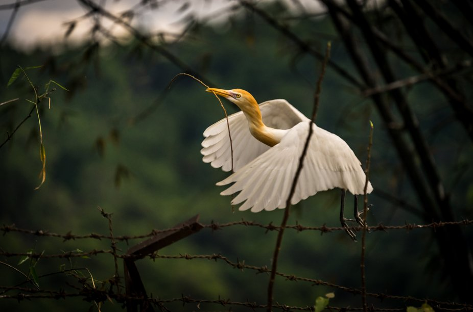 Nest building Cattle Egret (Bubulcus ibis)