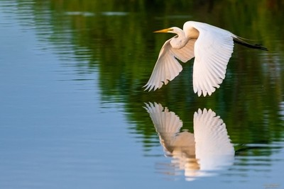 Water Reflection Great Egret
