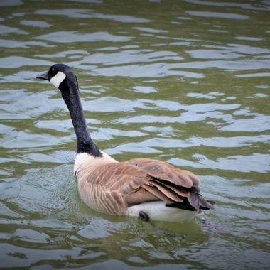 Gtown goose