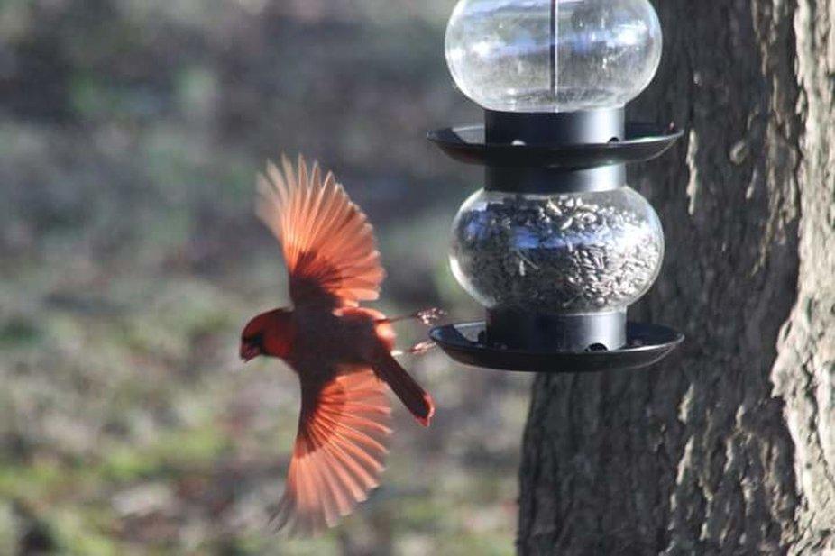 My beautiful Cardinal