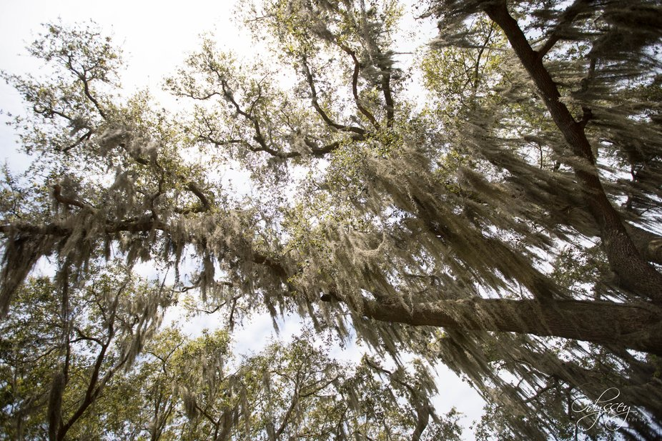 Spanish moss in the oaks on Keesler Air Force Base
