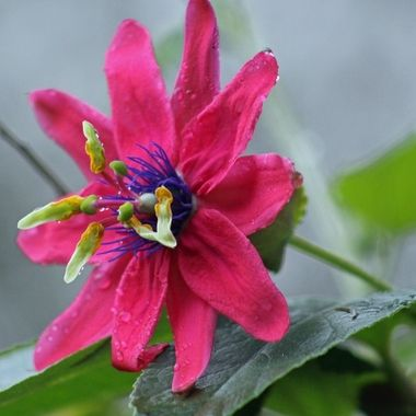 Ornamental passionfruit flower