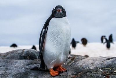 Gentoo Penguin staredown