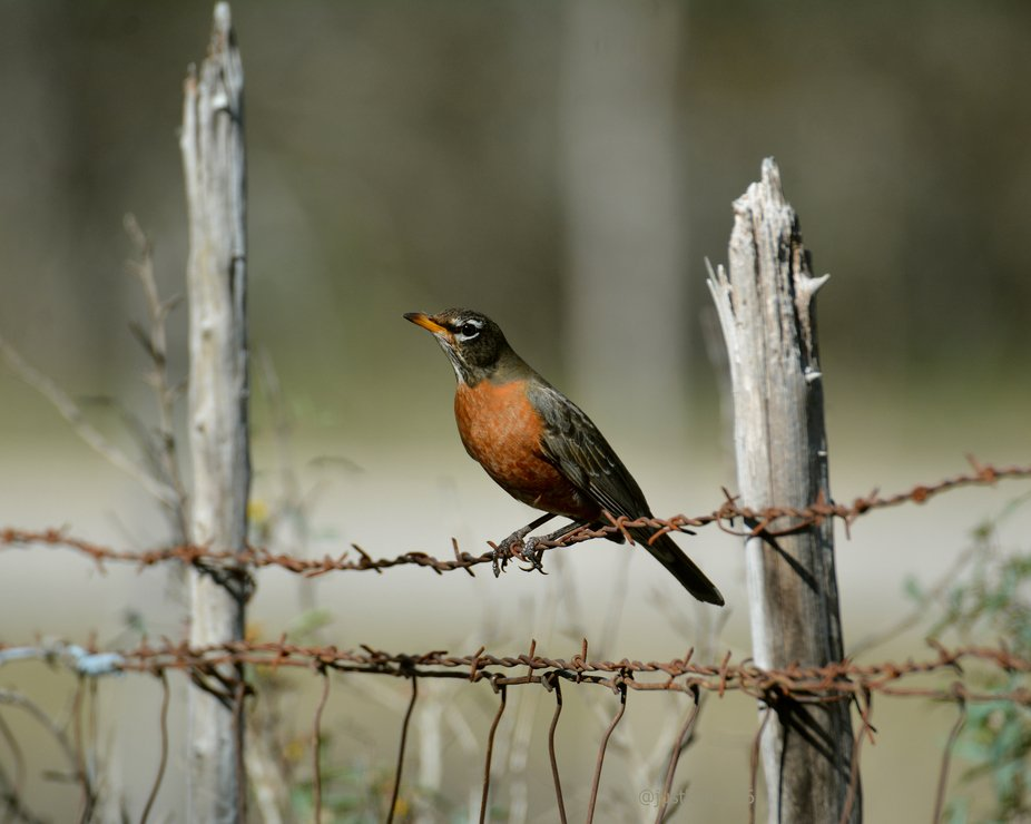 This American robin seemed to take pride in his own beauty and posed for a really nice portrait. ...