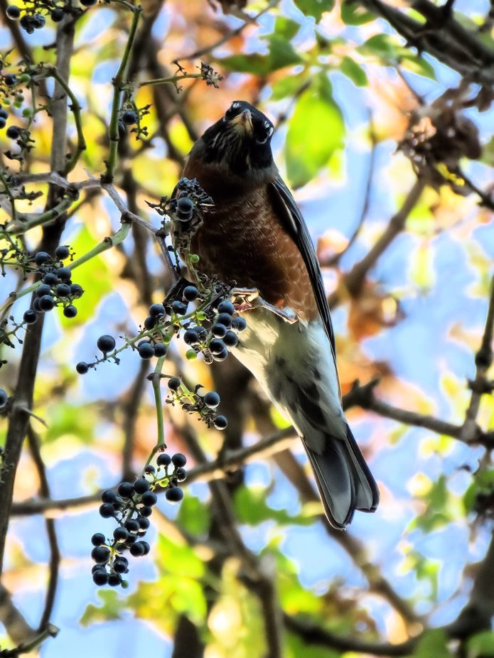 Robin & Berries