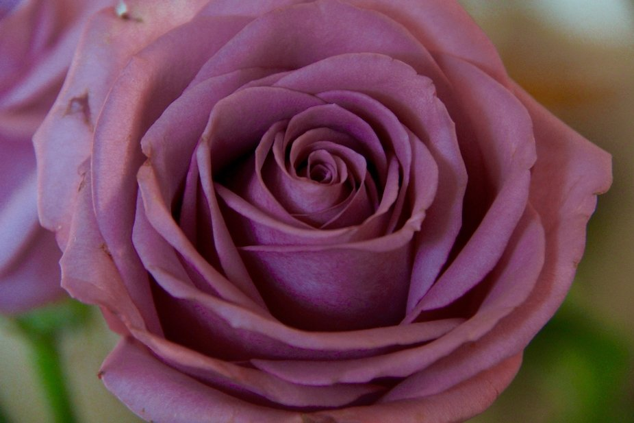 Lavander rose