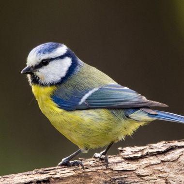 Wild garden birds