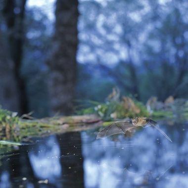 Poco antes de caer la noche (La hora azul), los murcielagos (Bats), salen a beber. Flashes para iluminar el bat y larga exposicion para el ambiente del bosque.