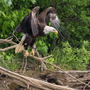 This was a series of photos of a Bald Eagle landing close to the banks of the Hiwassee River.