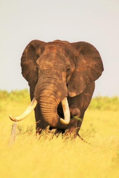A Large Tusker.