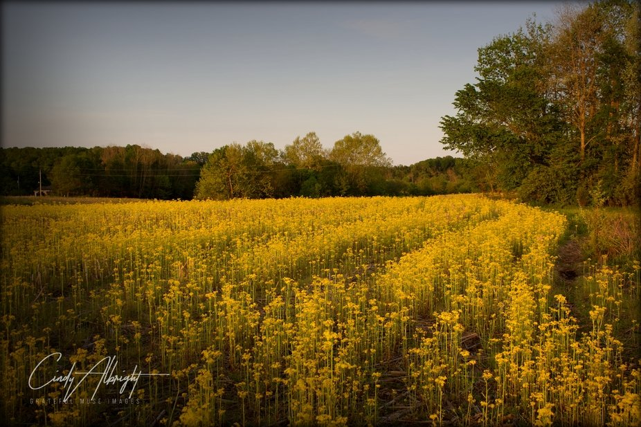 Fields of Butterweed in May, before planting begins.