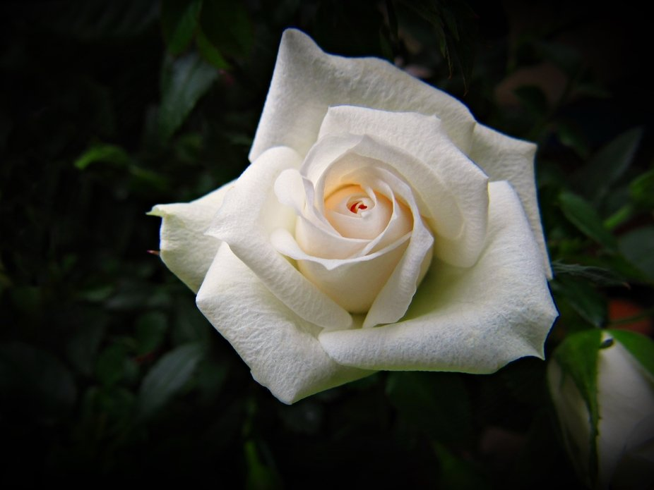 Miniature rose - Irresistible. That she is! Beautiful white bloom smile with a kiss of pink in th...