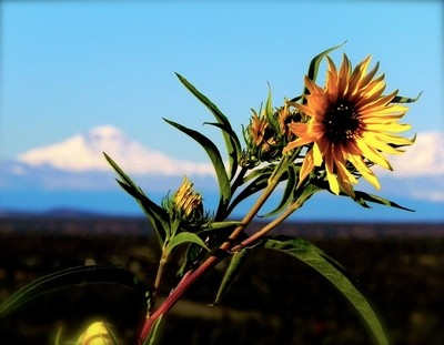 Top of the Mountain SunFlower