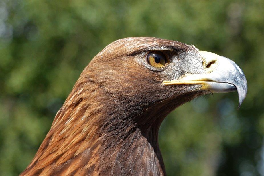 Captive bird photographed at a Falconry Centre.
