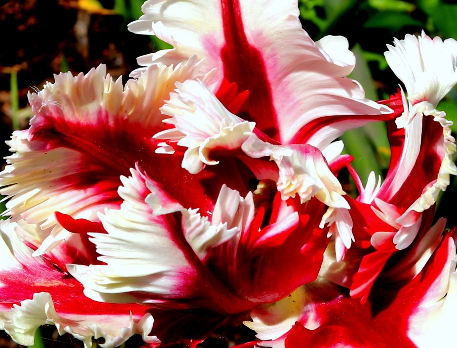 This is a real close up of a very interesting tulip.