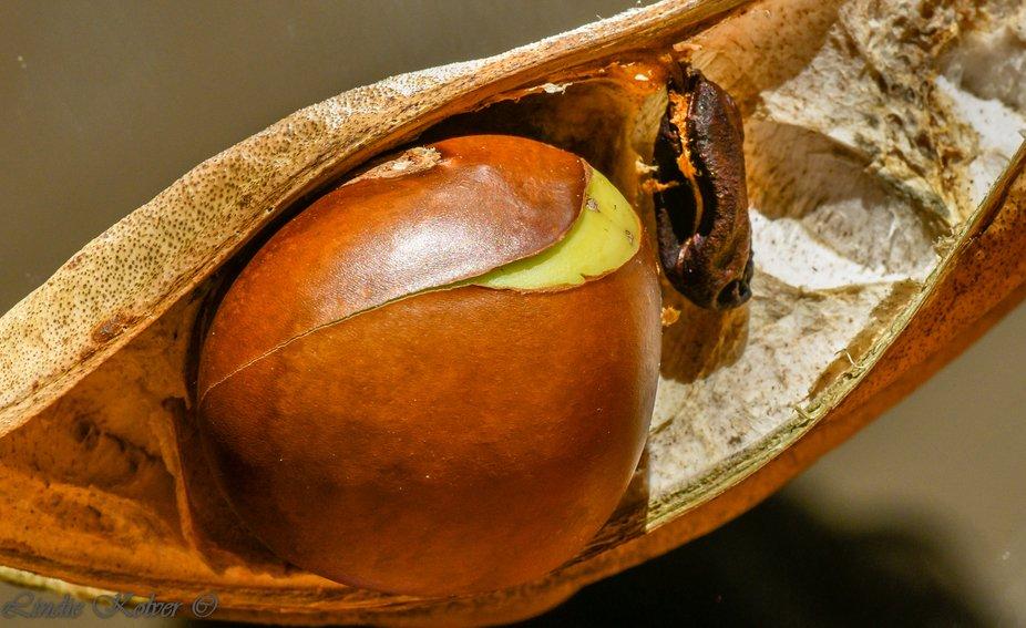 Blackbean Seed-pod and fruit