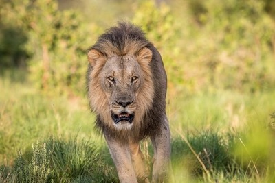 Big male Lion walking towards the camera.