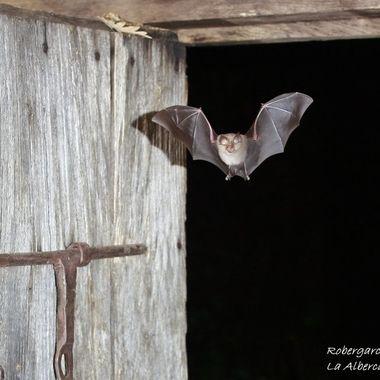 Posiblemente murcielago de herradura grande (Rinolophus ferrum-equinum), entrando en una caseta abandonada del bosque, lugar de su refugio.Noche lluviosa en La Alberca.Sierra de Francia.Spain.