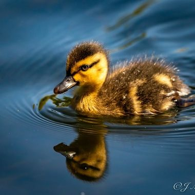 Duckling-0085