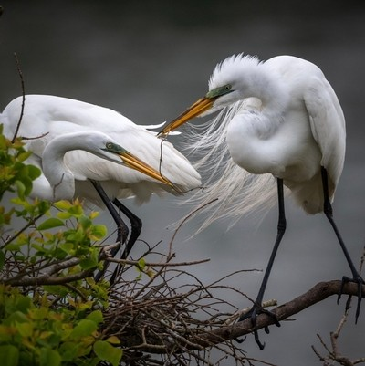 Great Egrets working together on their nest