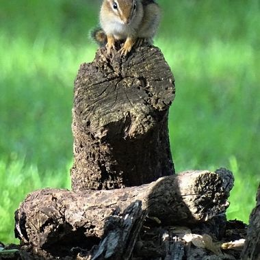 Chipmunk lookout 1