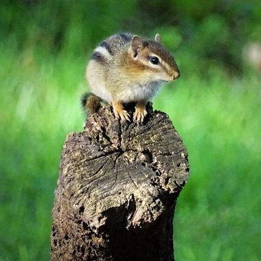 chipmunk lookout 2