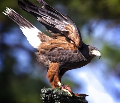 Hawk used in falconry
