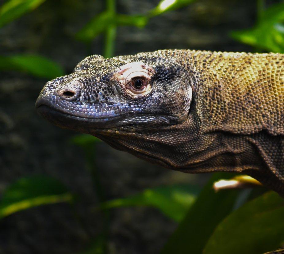 kamodo dragon