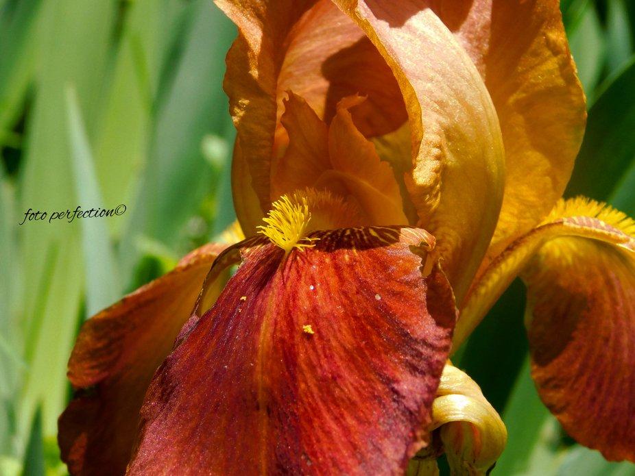 Iris Croatica