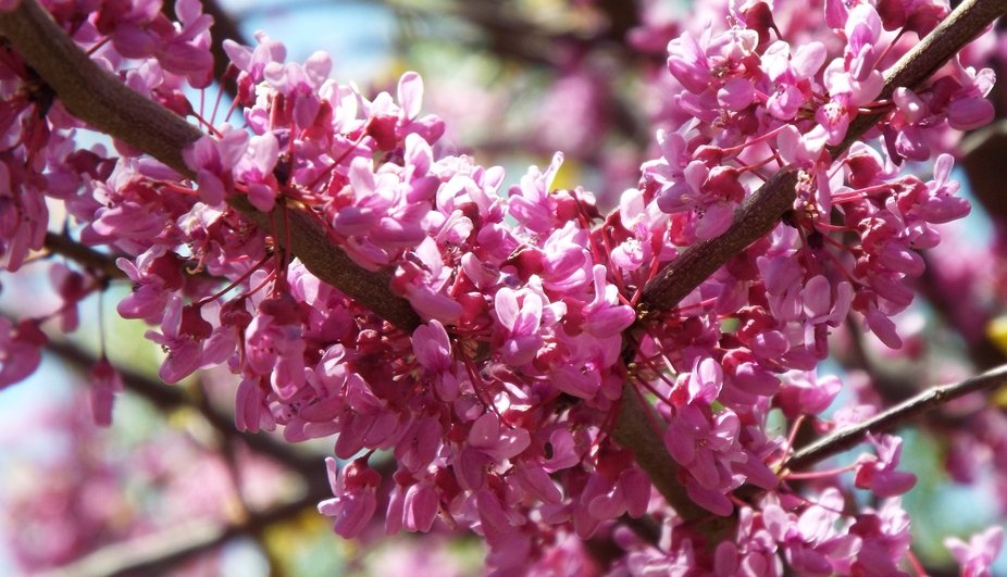 Flowering Red Bud during Spring