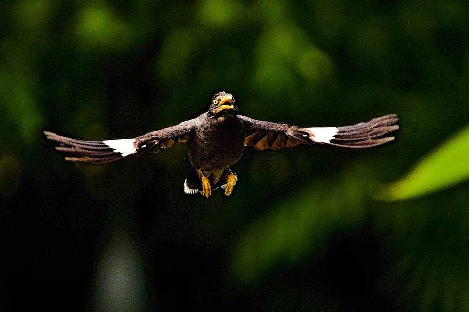 The Javan myna in mid flight!